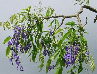 Bolusanthus speciosus 10 Seeds Tree wisteria Elephant Wood Rare Seeds From Thai