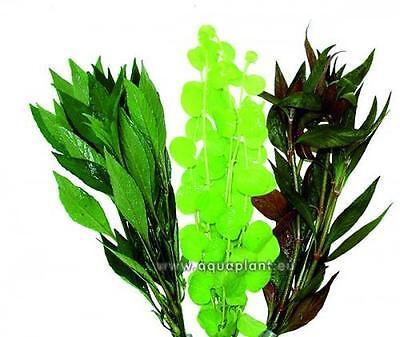 Aquariumpflanzen Set 15XXL Bunde, Aquarienpflanzen, Wasserpflanzen, Dicke Bunde 6