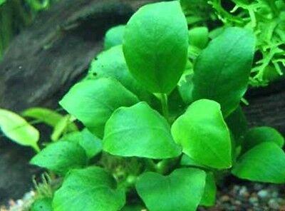 lot 20+2 plantes a racines aquarium anubia cryptocoryne echinodorus vallisneria 3 • EUR 49,99