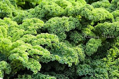 VEGETABLE - KALE - Borecole Dwarf Green Curled - 3500 seeds - Winter Hardy 5