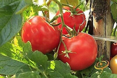 O.P. ACE 55 tomato heirloom non-gmo LOW ACID GREAT CANNER DISEASE RESISTANT