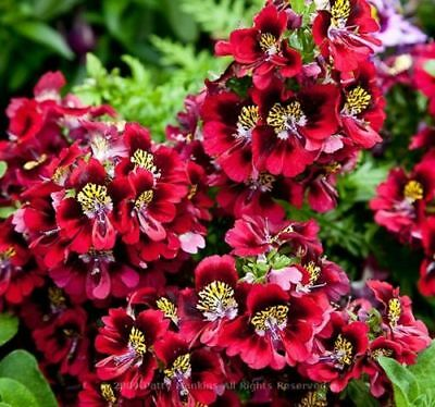 ANGEL WINGS MIX - 1600 SEEDS - Schizanthus wisetonensis - ANNUAL FLOWER 4