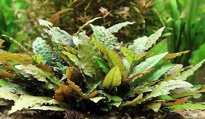 lot 40+5 plantes a racines aquarium anubia cryptocoryne echinodorus vallisneria 9