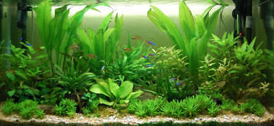 Amazon Sword Echinodorus Bleheri Live Aquarium Plants Decorations Bundle Rooted 6