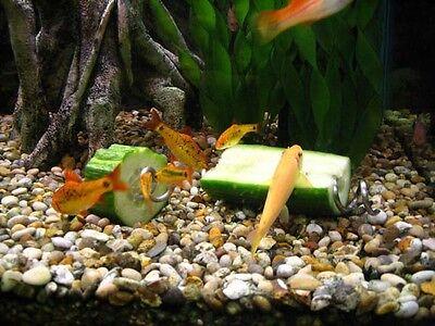 Screwcumber, Fish Tank/aquarium Vegetable Feeder, Pleco, Clown Loach/snails Etc 7