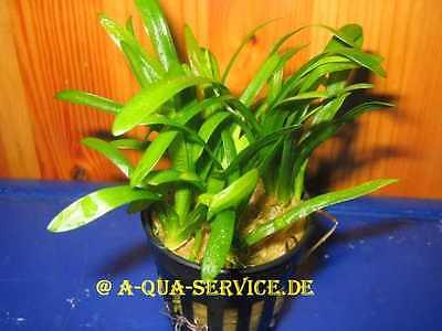 1 Topf Sagittaria subulata / Zwergpfeilkraut Vordergrundpflanze 2