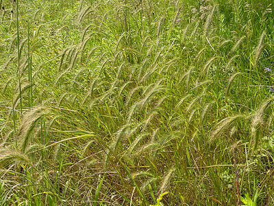 500 CANADIAN RYE Elymus Canadensis Grain Grazing Grass Ground Cover Seeds + Gift 4