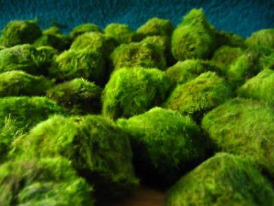 Schöne 3 Mooskugeln / Mooskugel  Wasserpflanzen  f Aquarium !!!!! 2 • EUR 2,49
