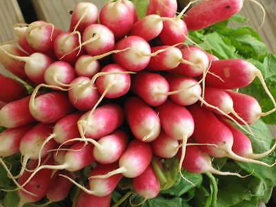 Vegetable  Radish French Breakfast 2   45 Gram ~ Approx 6300 Finest Seeds
