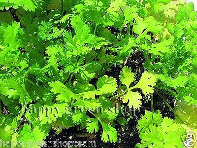 CORIANDER - 400 SEEDS - cilantro - Coriandrum sativum - Herb - HERBS 2