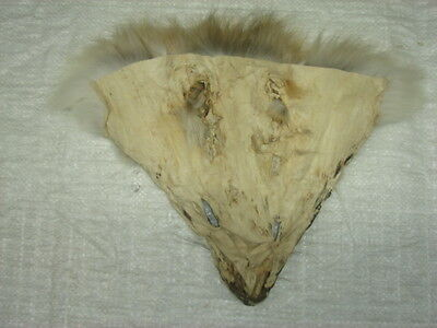 #1 Quality Tanned Coyote Faces/Fur/Crafts/Real Coyote fur, not Fake 2