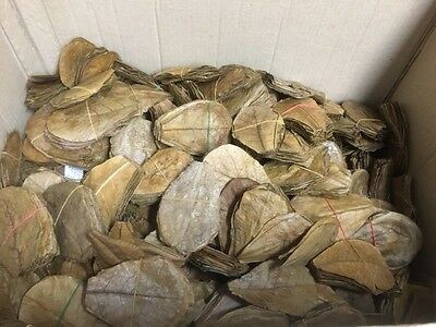 Seemandelbaumblätter 30 Stück 10-20cm Catappa Leaves Wasseraufbereitung Garnelen 4