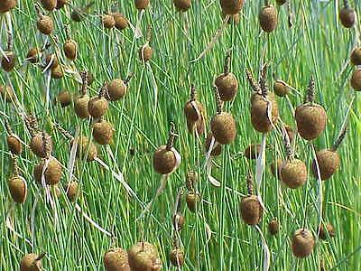 Typha minima  x3 massette  jonc  plante bassin vivace quenouille