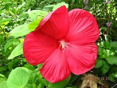 10 Luna Red Hardy Hibiscus Moscheutos Flower Small Bush Seeds Gift Comb Sh