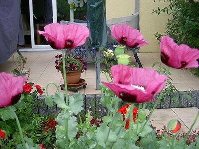toll Mohn Samen pinkrot Papaver gefüllt franselig Garten Beet Samen Blüte /'◕/'