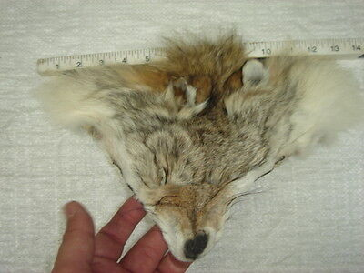 #1 Quality Tanned Coyote Faces/Fur/Crafts/Real Coyote fur, not Fake 3