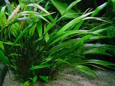 lot 20+2 plantes a racines aquarium anubia cryptocoryne echinodorus vallisneria 6