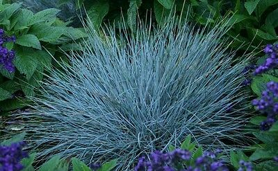 BLUE FESCUE - Festuca Glauca - 600 seeds  -  ORNAMENTAL GRASS 5