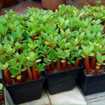 "5 pcs Desert Rose Flower Adenium obesum ""PEONY"" bonsai Seeds #A062 2"