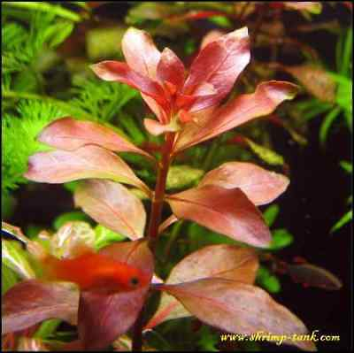 15 Ludwigia Repens Red Fresh Live Aquarium Plants Bunch Freshwater BUY2GET1FREE* 2