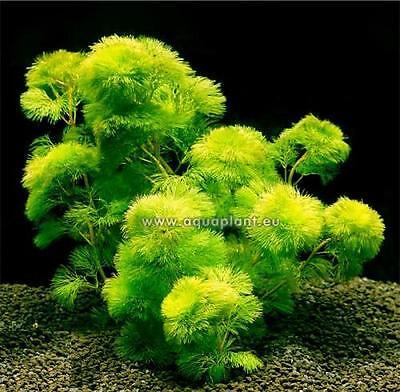 Aquariumpflanzen Set 15XXL Bunde, Aquarienpflanzen, Wasserpflanzen, Dicke Bunde 4
