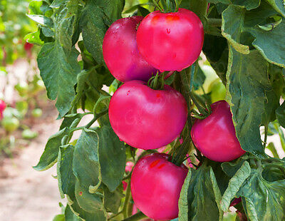 Vegetable Large Pink Tomato - 300 Seeds - Pink Super King