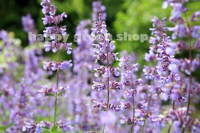 CATMINT CATNIP - 600 SEEDS - Nepeta mussinii faassenii - PERENNIAL FLOWER 2