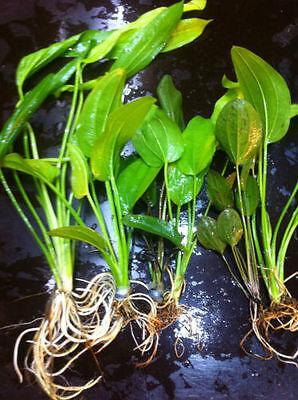 lot 40+5 plantes a racines aquarium anubia cryptocoryne echinodorus vallisneria 7