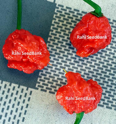 Carolina Reaper Chilli Plant (Red) - The World's Official Hottest Chilli Pepper!