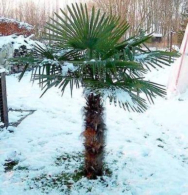 Windmill Palm, Chusan Palm, Chinese Palm, Trachycarpus fortunei Seeds. 2