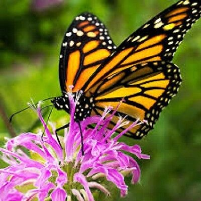 Bee Balm Perennial flower, Save the Monarch,attracts bees 25+seed great for tea 2