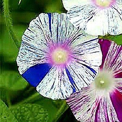 Morning Glory 'Carnevale di Venezia' (Ipomoea purpurea) x 10 seeds