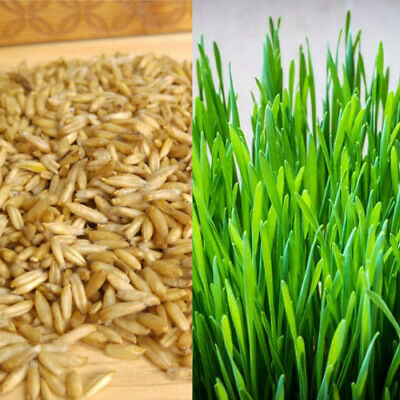 Organic Cat Oat Grass ~Fully grown in 14 days ~ Pets Love it! ~ BUY 2 GET 2 FREE 4