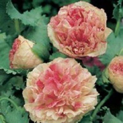 Poppy Papaver Somniferum MIX Pavots Somnifères Mélange 0,25 gramme +/-  500 gr 5