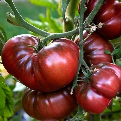 Vegetable Black Tomato - 60 Seeds - Black Prince 2
