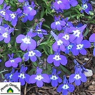 Amoi1 100 Pieces of pack Lobelia Erinus Flower Seeds Plant DIY Garden Home
