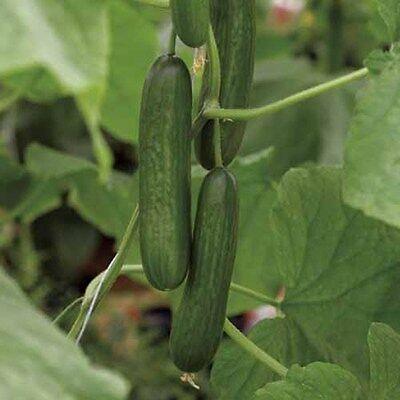 Vegetable Cucumber  Passandra F1 (Greenhouse)  5 Seeds  All Female Flowered