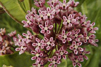 Asclepias erosa Desert Milkweed 10 seeds FREE SHIP