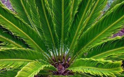Lot 2 ou 4 Palmiers CYCAS KING SAGO hauteur à la livraison 50 - 60 cm 4