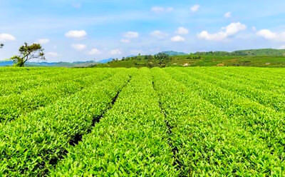 Good Lapsang Souchong tea Superior Black Tea Organic Zhengshanxiaozhong Lose tea 9