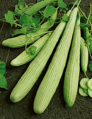 Vegetable  Cucumber Armenian Yard Long  70 Seeds