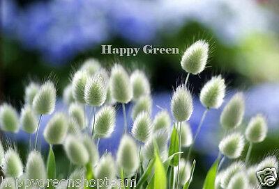 Ornamental Grass - BUNNY S TAILS - 600 SEEDS - Lagurus Ovatus - Annual 2