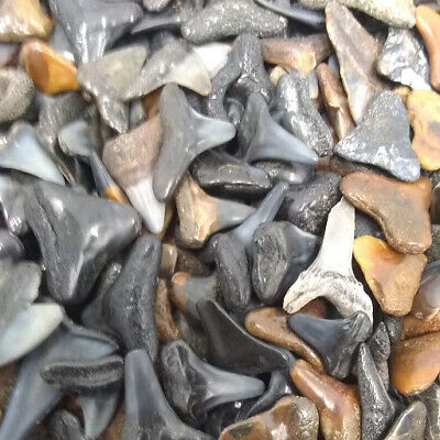 30 Fossilized Shark Teeth  (Beach/River) + 1 Shark Tooth Necklace Over 450 SOLD! 2