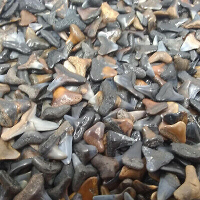 Lot of 100 Fossilized Shark Teeth + Megalodon Tooth Fragment +4 More Bonus Items 3