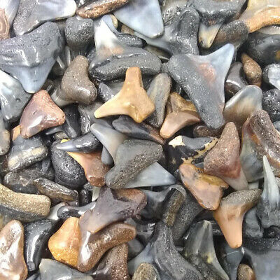 30 Fossilized Shark Teeth  (Beach/River) + 1 Shark Tooth Necklace Over 450 SOLD! 3