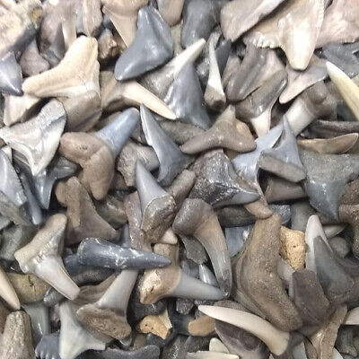 30 Fossilized Shark Teeth  (Beach/River) + 1 Shark Tooth Necklace Over 450 SOLD! 5