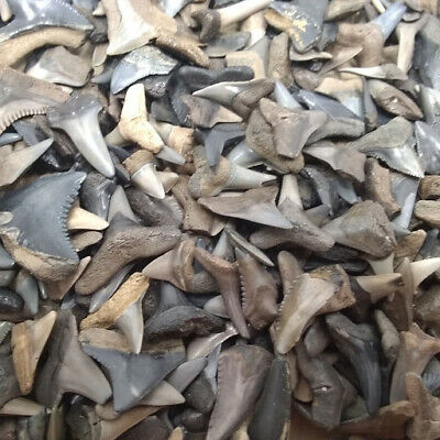 Lot of 100 Fossilized Shark Teeth + Megalodon Tooth Fragment +4 More Bonus Items 5