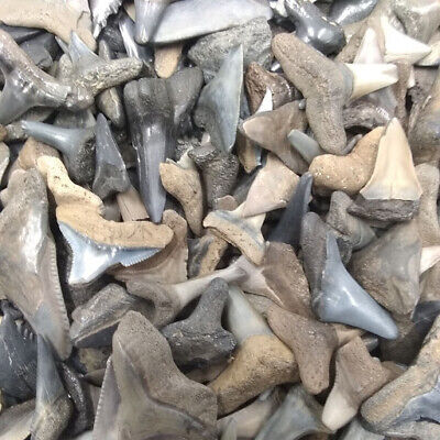 30 Fossilized Shark Teeth  (Beach/River) + 1 Shark Tooth Necklace Over 450 SOLD! 4
