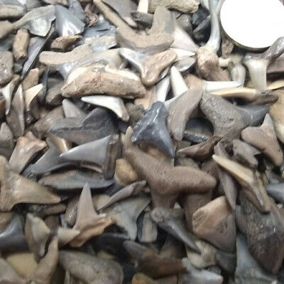 Lot of 100 Fossilized Shark Teeth + Megalodon Tooth Fragment +4 More Bonus Items 4