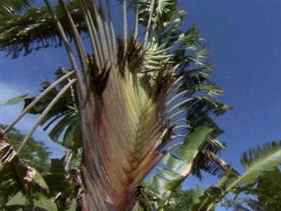 * PFLANZE * Ravenala madagascariensis, Baum der Reisenden, kräftige Jungpflanze